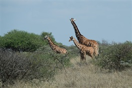 Good News for Giraffes at CITES CoP18